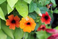 Black Eyed Susan Vine Mix Colours  10 Seeds